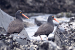 Oyster Catcher Mates