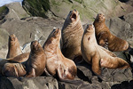 Sea Lion Choir